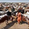 Congo Virus in Karachi livestock Market Report